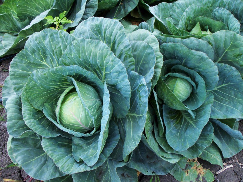 Adivinanzas de verduras para niños 17